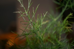 Fennel - detail 2